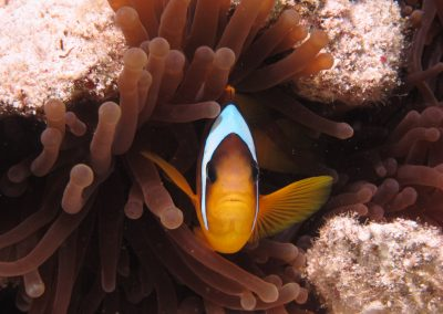 Reef 2000 - Clown fish shot 2