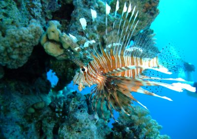 Reef 2000 - Lion fish shot 1