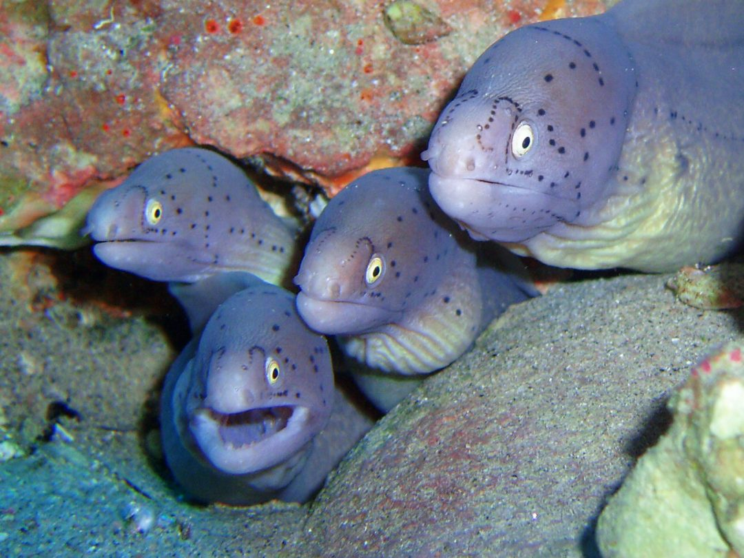 peppered moray eels